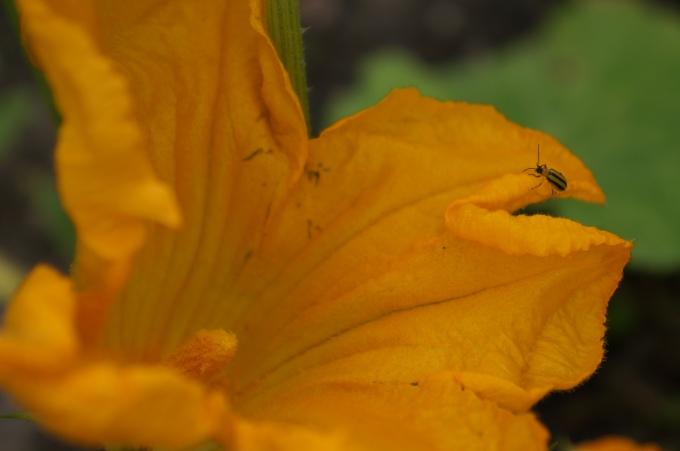 squashflowerstripedbug