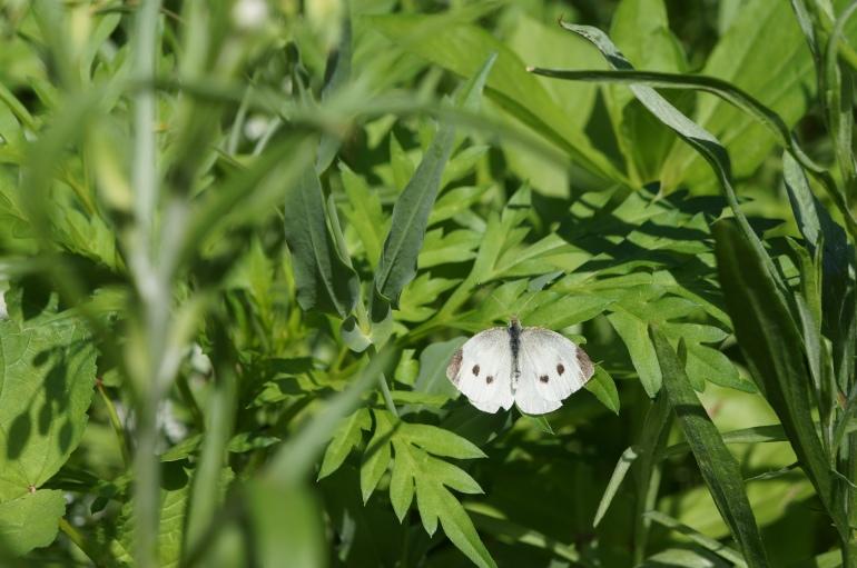 whitebutterfly