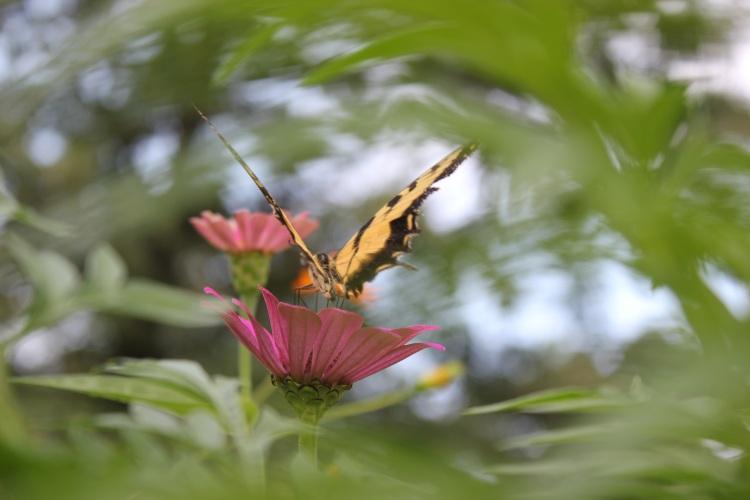 Summer Dream Buterfly