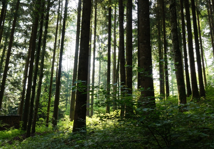 swiss forest