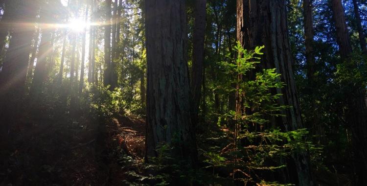 baby redwood 2