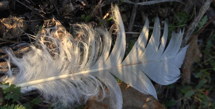 white feather goose geese skein